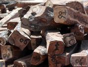 Guiné-Bissau: Desflorestação ilegal movimenta esquema milionário