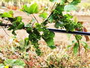Grape production begins in force on Santiago