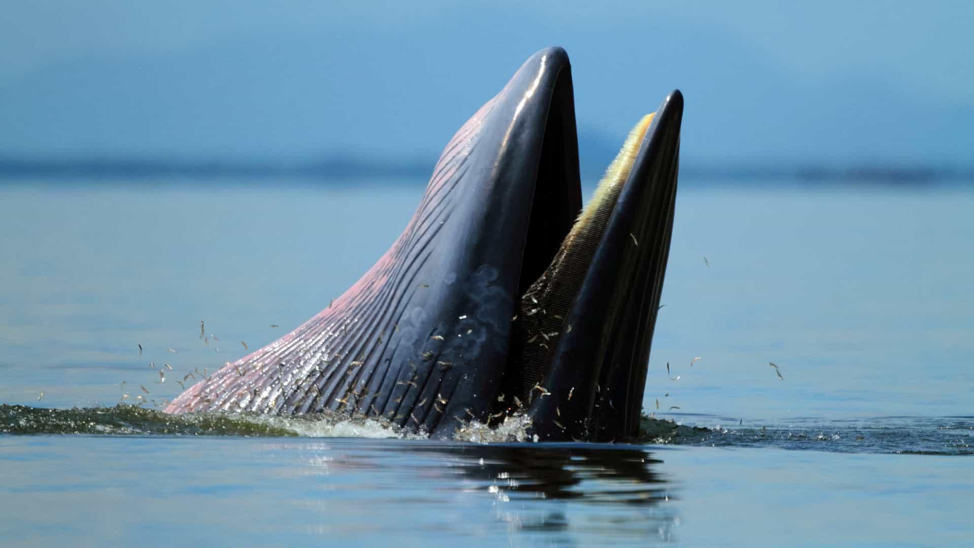 homem foi abocanhado por baleia  mas foi cuspido depois